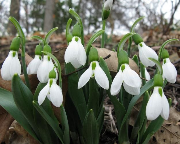 Loving Giant Snowdrops Garden Design