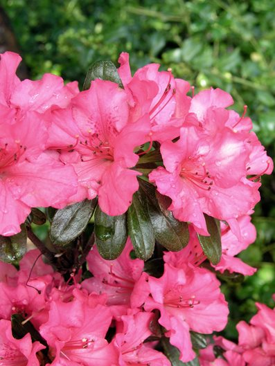 10 best evergreen shrubs garden design girards rose azalea mightylinksfo