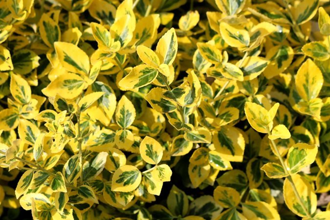 10 Best Evergreen Shrubs Bushes For Sun Or Shade Garden Design