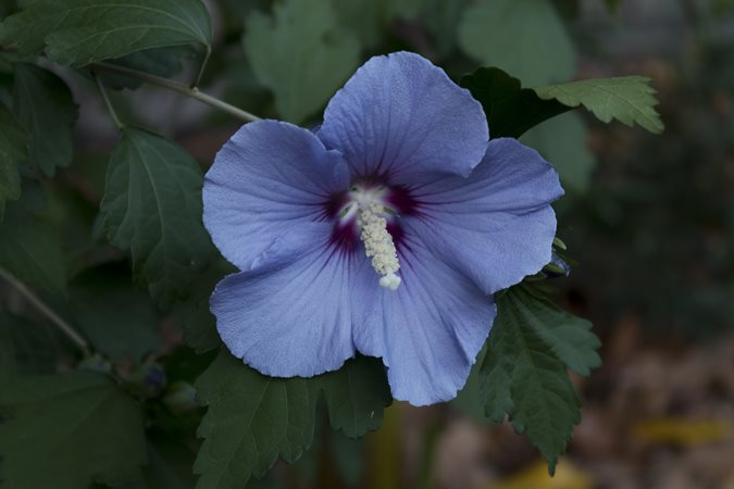 Growing Rose Of Sharon Other Hardy Hibiscus Flowers Garden Design