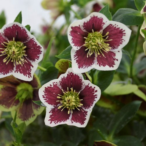 Hellebores How To Grow Care For Hellebore Flowers Garden Design