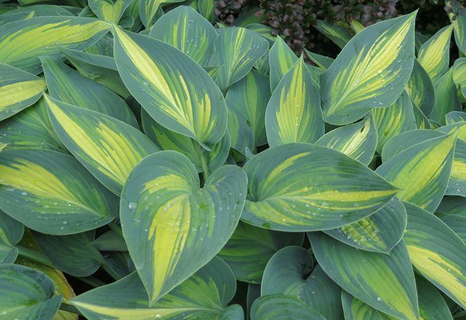 Top Hosta Plants For A Shade Garden Garden Design