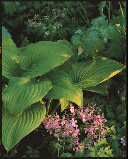 HOSTA PLANTAGINEA   Photo By: J. Paul Moore.