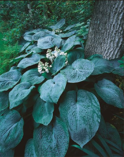11 Hosta Plants for a Shade Garden Garden Design