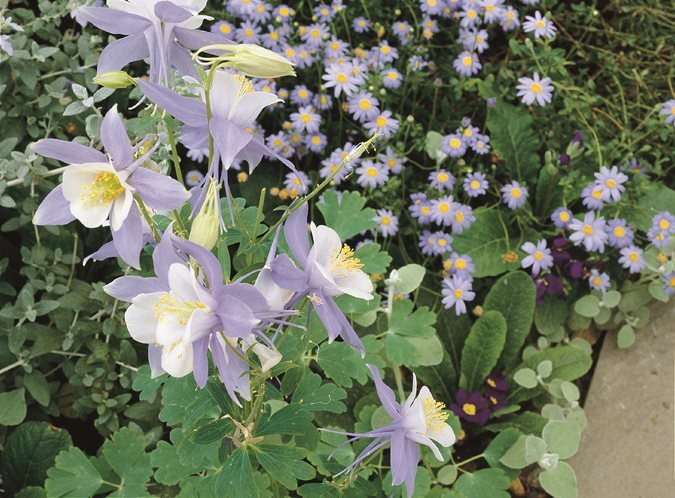 Columbine Flower Garden Design