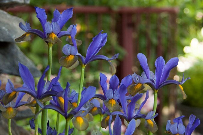 18 Blooming Bulbs To Enjoy In Spring Garden Pics And Tips
