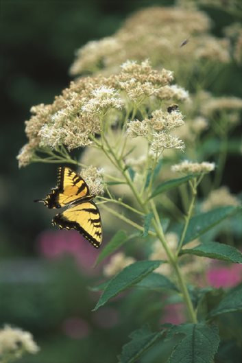 Joe Pye Weed Garden Design