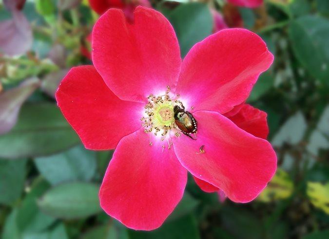 14 best flowering shrubs garden design knock out shrub rose mightylinksfo