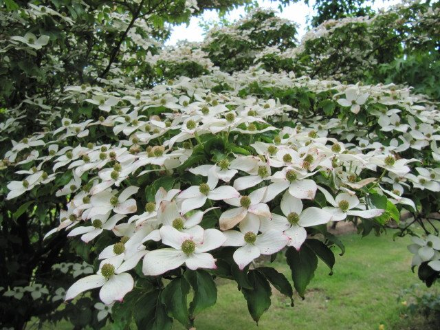 The 12 best flowering trees for the garden garden design white flowering trees kousa dogwood emcornus kousaem photo by mightylinksfo