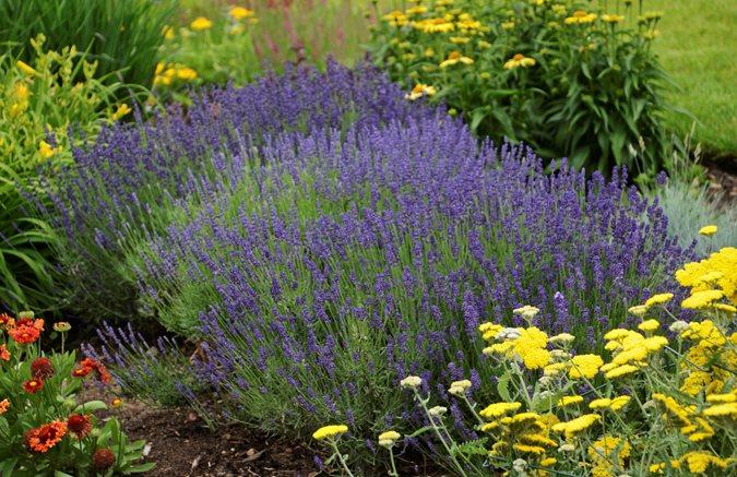 Growing Lavender Planting Caring Buy Lavender Plants Garden