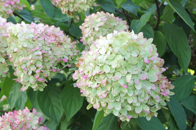 14 best flowering shrubs garden design limelight hydrangea mightylinksfo