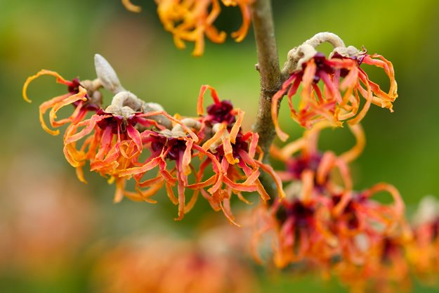Growing Witch Hazel How To Care For Witch Hazel In The Garden