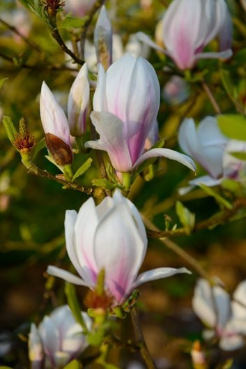 Magnolia Tree Types Planting Care Garden Design