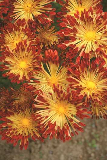 Chrysanthemums growing and care tips garden design matchsticks mightylinksfo