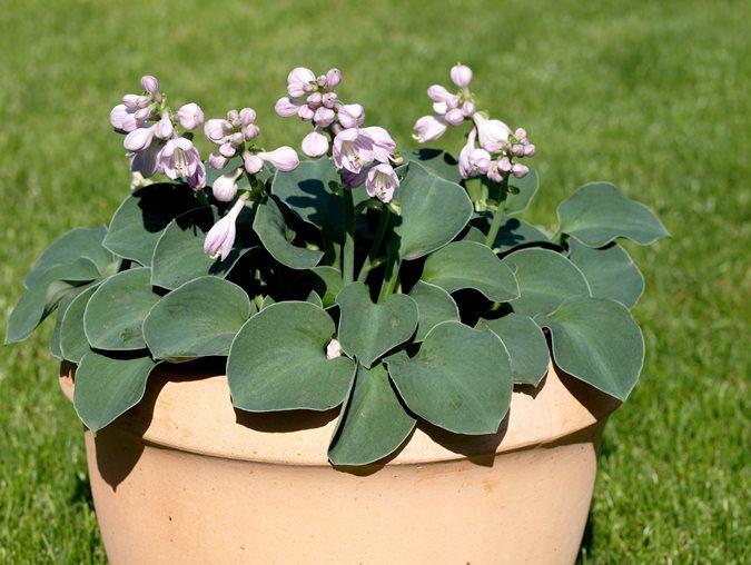 Top Hosta Plants For A Shade Garden Garden Design