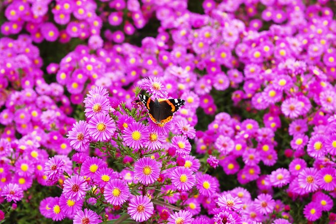 https://www.gardendesign.com/pictures/images/675x529Max/site_3/new-england-asters-red-admiral-butterfly-shutterstock-com_12049.jpg