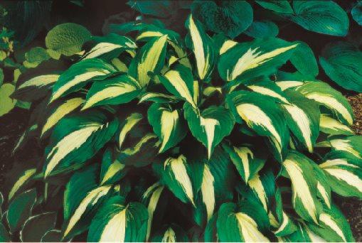 Top Hosta Plants for a Shade Garden | Garden Design on hosta and daylily garden, hosta and caladium garden, hosta garden plans blueprints, hosta and hydrangea garden,