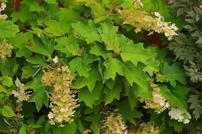 Hydrangea Quercifolia (oakleaf Hydrangea)   Photo By: Janet Loughrey.