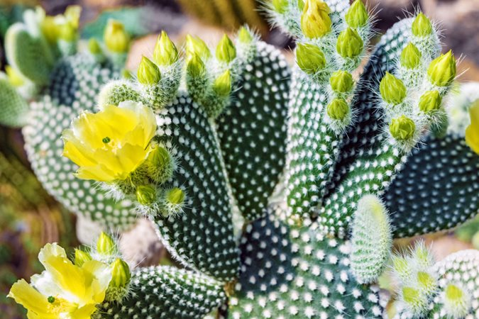 Prickly Pear: How to Grow and Care for Opuntia Cactus