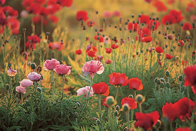 growing oriental poppy flowers