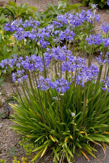 Agapanthus Plant Varieties Care Garden Design