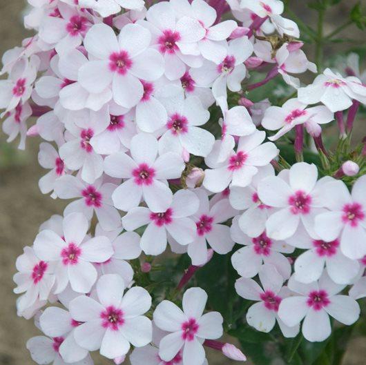 Growing Phlox Planting Caring For Garden Phlox Garden Design