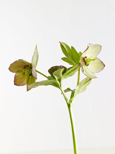 hellebores  how to grow  u0026 care for hellebore flowers