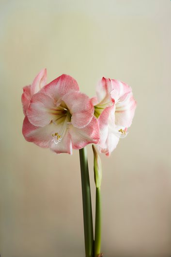 How To Grow And Care For Amaryllis Garden Design