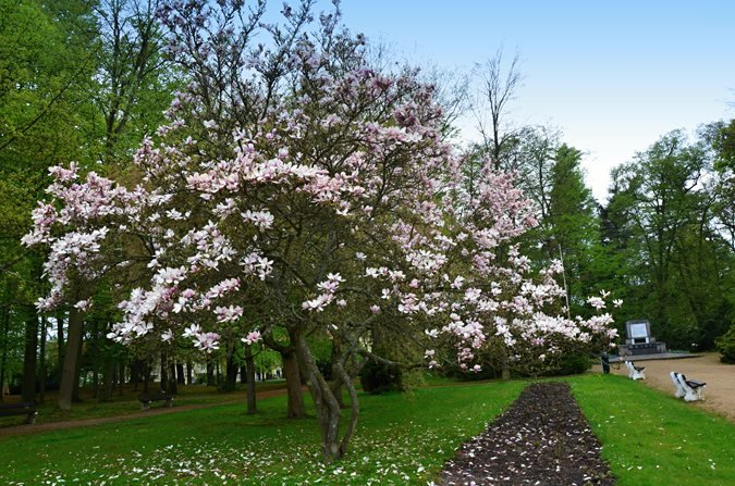 The 12 best flowering trees for the garden garden design for Flowering landscape plants