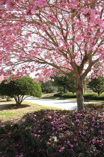 The 12 best flowering trees for the garden garden design pink trumpet tree emtabebuia impetiginosaem photo mightylinksfo