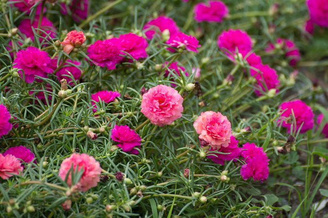 Drought Tolerant Garden Design garden ideas landscaping ideas coastal garden seaside garden drought tolerant garden Portulaca