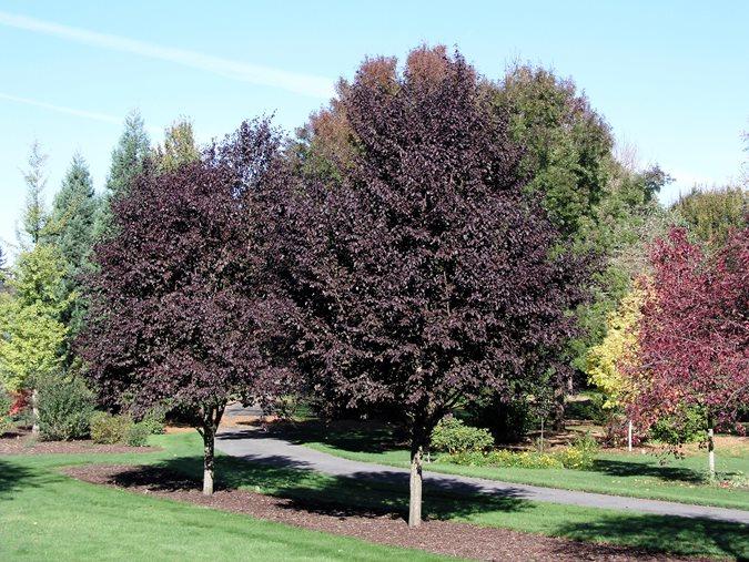 Purple-Leaf Plum Trees...