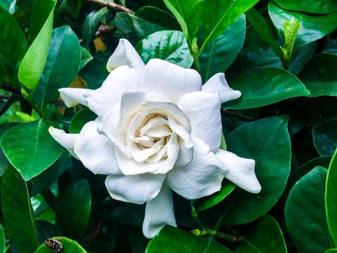 Growing gardenias how to care for gardenia plants garden design radicans mightylinksfo