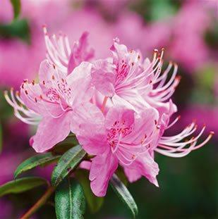 Wild Rhododendrons Garden Design