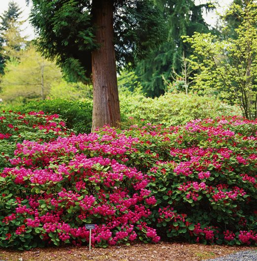 Wild Species Rhododendrons Garden Design