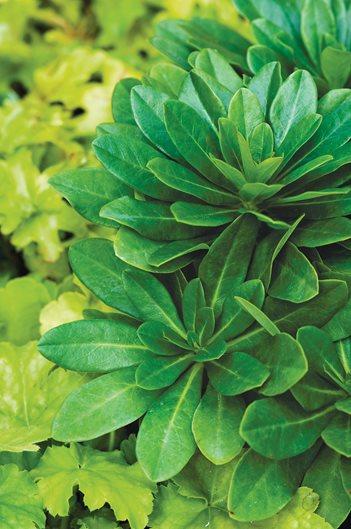 Euphorbia Plant Care Varieties Garden Design