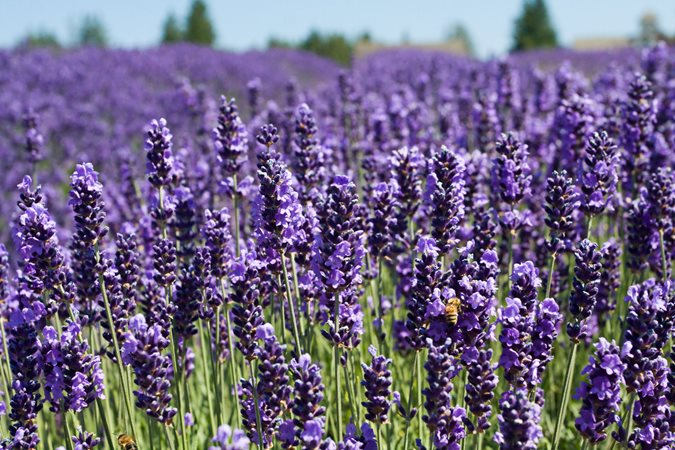 Growing Lavender, Planting & Caring - Buy Lavender Plants | Garden ...