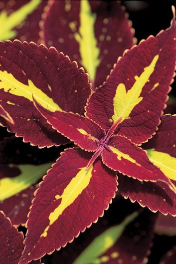 Coleus Plant Care Amp Varieties Garden Design