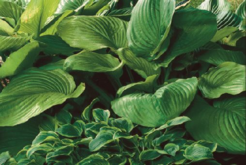 Top Hosta Plants for a Shade Garden | Garden Design
