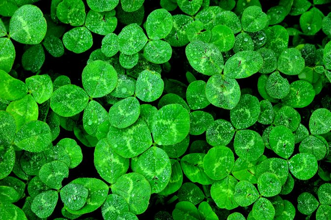 Shamrock 101 How Many Leaves Different Than Clover Garden Design