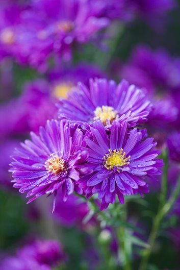Asters how to grow care and design with these fall flowers purple dome aster photo by richard bloom mightylinksfo