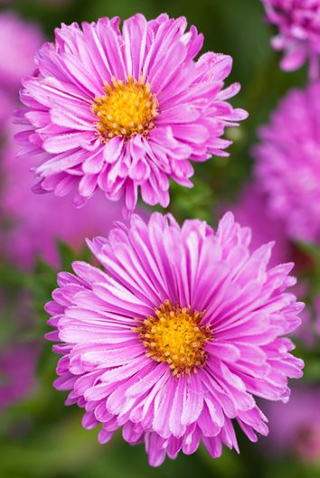 Asters how to grow care and design with these fall flowers patricia ballard aster photo by richard bloom mightylinksfo