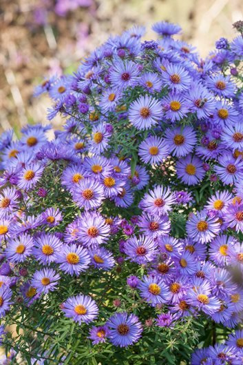 Asters how to grow care and design with these fall flowers october skies aster photo by clive nichols mightylinksfo