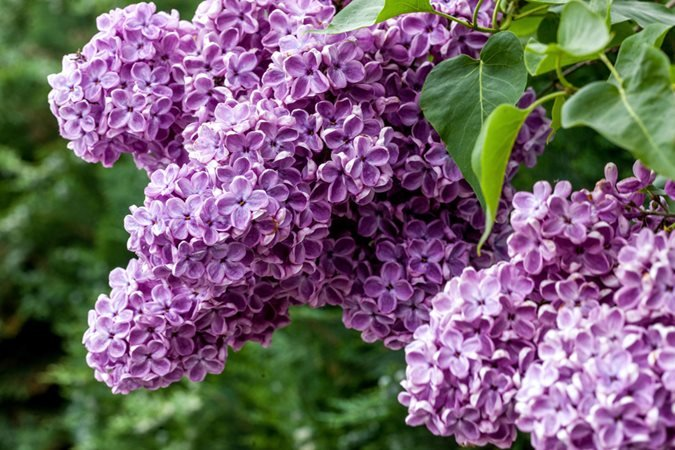 Growing Lilacs Planting Amp Caring For Lilac Bushes