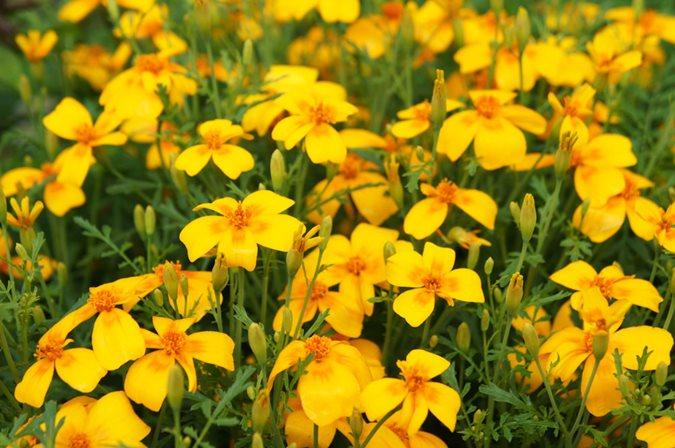 Growing Marigolds Planting Amp Caring For Marigold Flowers Garden Design