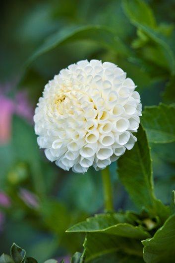 Growing Dahlias: Planting & Caring For Dahlia Flowers