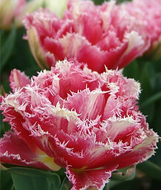Planting Tulips - How to Grow & Care For Tulips | Garden Design