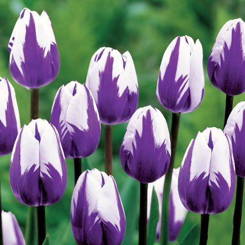 planting tulips how to grow care for tulips garden design