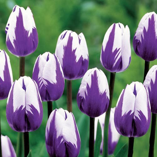 Planting Tulips How To Grow Amp Care For Tulips Garden