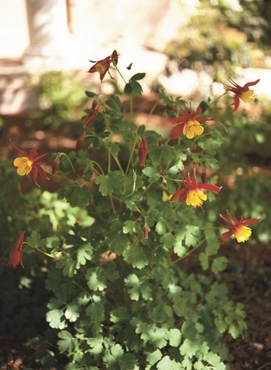 Columbine Flower Garden Design